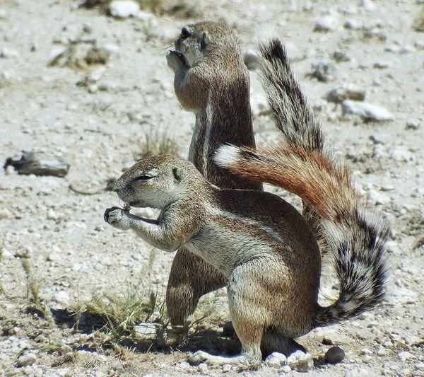 Erdhörnchen Gophers Gopher  Gophers ❤ Nature's Diversities
