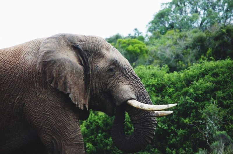 Amazing Nikon Travel Nikon D5100  Passion Hobby Naturelovers Amazing Creatures Wildlife & Nature Beauty In Nature Photography African Elephant