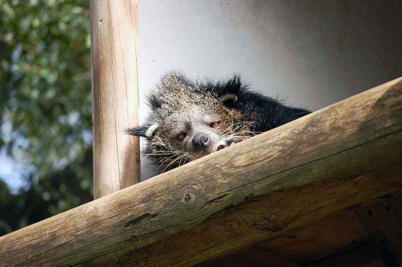 Animal Themes Animal Wildlife Animals In The Wild Binturong Day Grumpy Mammal Nap Time Nature No People One Animal Outdoors Portrait Raccoon Sleepy Tree Wood - Material