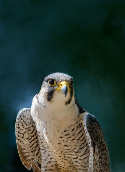 Close up of a peragin falcon with copy space