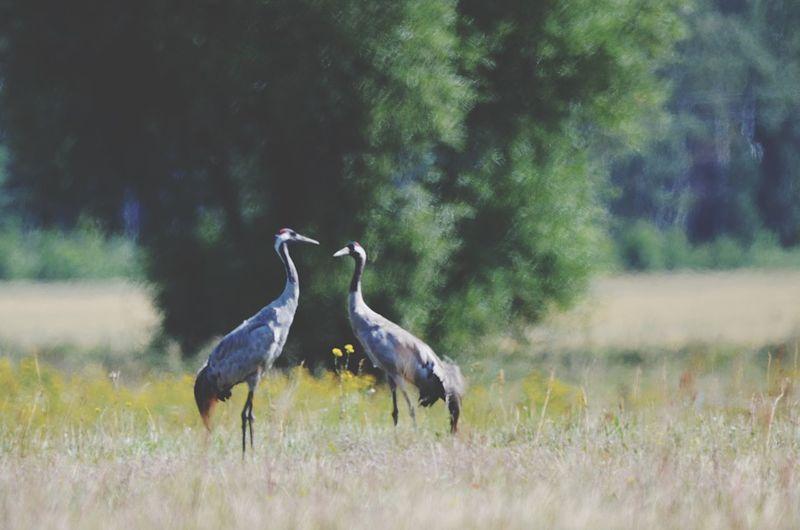 Kranich Common