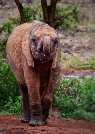 Baby Elephant Africa Kenya African Elephant Animal Trunk Elephant Safari Animals Standing Portrait Tusk Endangered Species Elephant Calf Trunk Calf Young Animal