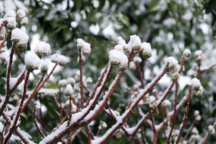 Oriental Paperbush Flower Beauty In Nature Branch Close-up Cold Temperature Day Flower Focus On Foreground Fragility Freshness Growth Nature No People Outdoors Snow Springtime Tranquility Tree Twig Winter