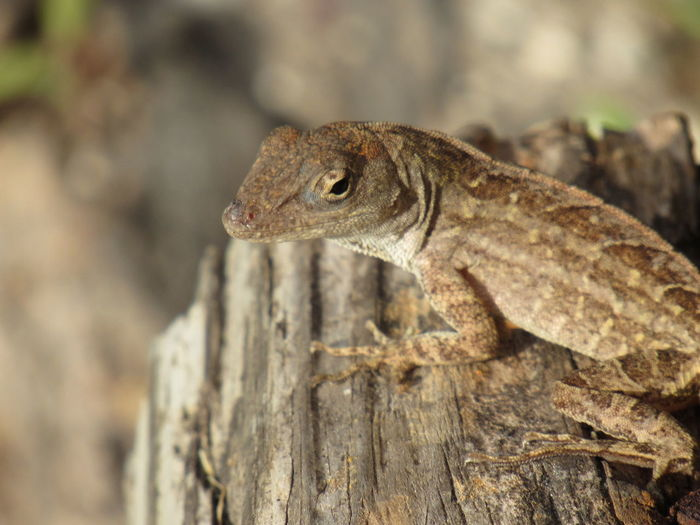 Lizard Watching Beauty In Nature Brown Lizard Changing Colors Close-up Fast Focus On Foreground Outdoors Selective Focus Tiny Things Wildlife