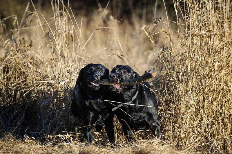 Black labradors holding carrying stick in mouth