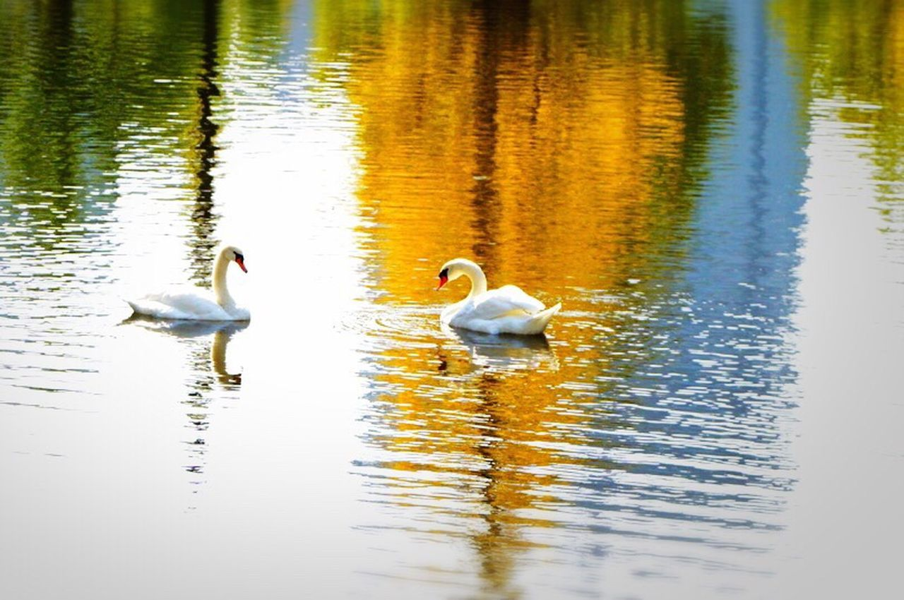 animals in the wild, bird, reflection, lake, water, animal themes, swan, white color, animal wildlife, water bird, nature, swimming, waterfront, no people, day, beauty in nature, outdoors