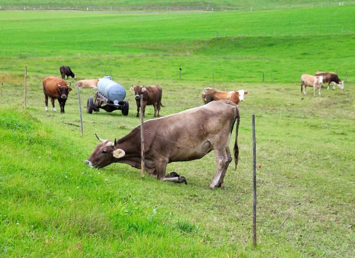 Cow Struggling To Eat Grass By Fence In Landscape