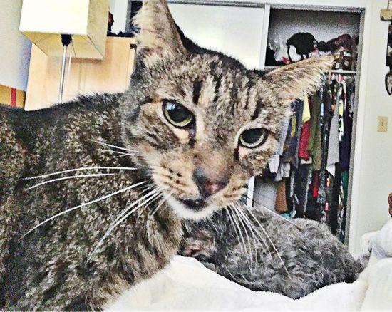 No respect pt. 2 ShotOniPhone6 Animal Feedmenow Wakeup Feline Morning Nosleep  Cats Of EyeEm Rescuecat Cats Catsanddogs