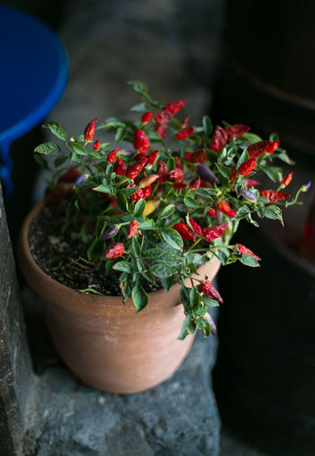 Red Pepper Vase Plant Food