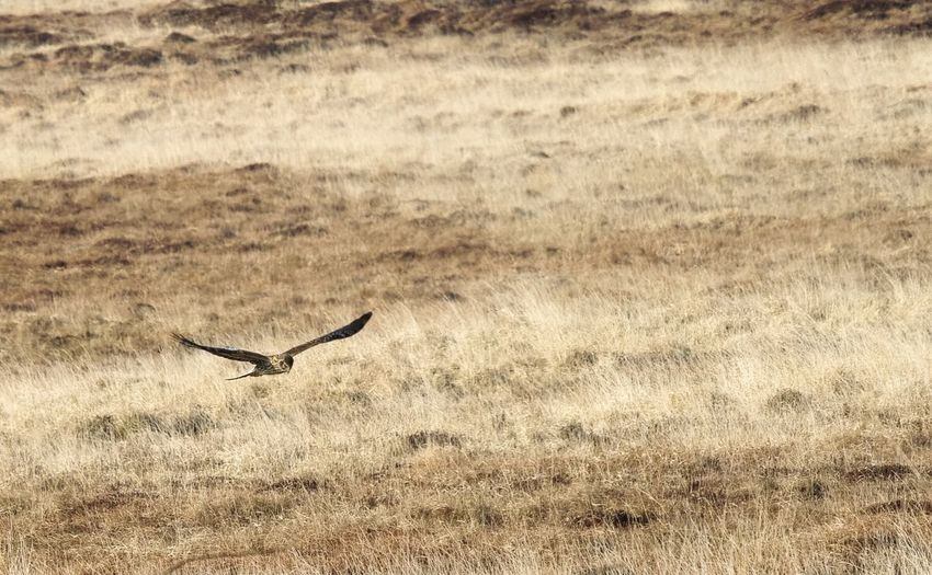 hen harrier, islay, Scotland . Bird Animals In The Wild One Animal Wildlife Animal Themes Flying Spread Wings Field Nature Raptor Bird Photography Birds_collection Birds Of EyeEm  Bird Of Prey Hen Harrier hen harrier coursing field ,