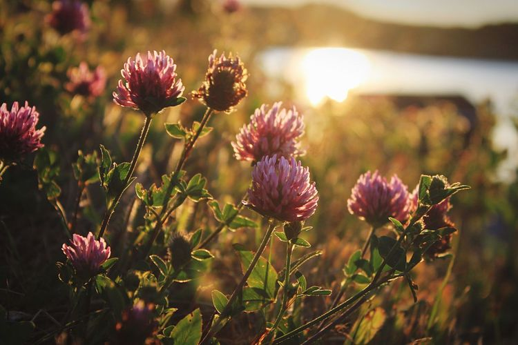 Flowers Flower Flowers Nature Grass Sun Sunrise Garden Landscape Weeds Green Purple Purple Flower Water Close-up Sunshine Nature_collection Landscape_Collection Summer EyeEm Best Shots EyeEm Nature Lover Landscapes With WhiteWall The Great Outdoors With Adobe