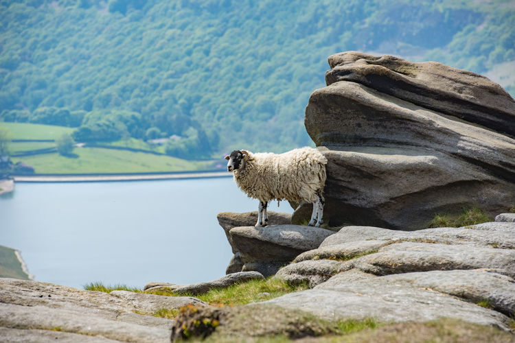 A female sheep on the edge of the hill warming up on a heated boulder, kinder scout, peak district