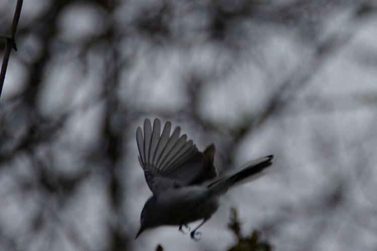Bird Silouette Ruby Crowned Kinglet Nature Photography Nature