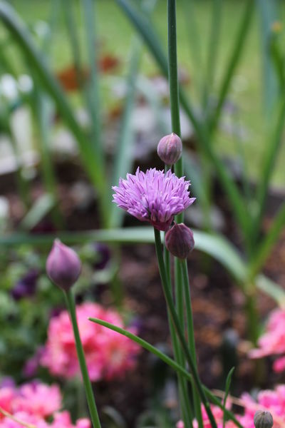 Beauty In Nature Blooming Chives Close-up Flower Flower Head Herbs Nature Plant
