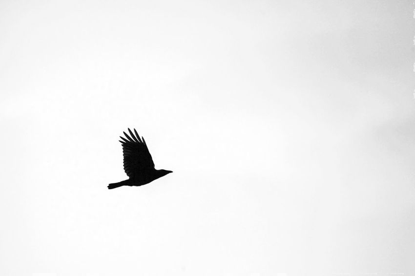 ©662 the crow is flying into the weekend- have a nice one ☝🏽 Simple Quiet Love Exceptional Photographs EyeEm Bnw EyeEm Masterclass EyeEm Nature Lover EyeEm Best Shots monochrome photography Monochrome Bnw Bnw_friday_eyeemchallenge Black And White Bird Photography Bird Weekend Friday Malephotographerofthemonth Followme Crow Bird Animal Themes Animal Wildlife Animals In The Wild Animal Vertebrate One Animal Flying Spread Wings Sky Beauty In Nature Nature End Plastic Pollution This Is Aging EyeEmNewHere