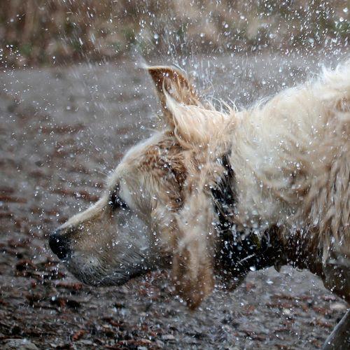 Zurücktreten bitte... Hund Golden Retriever Nasser Hund Wassertropfen
