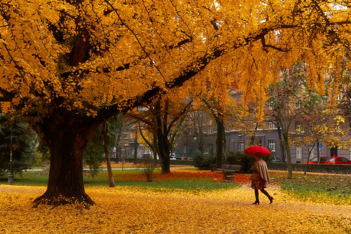 Autumn in the City EyeEmNewHere Ginkgo Red Umbrella Yellow Leaves Autumn Beauty In Nature Freshness Gingko Leaf Gingko Tree Gingkobiloba Leaf Nature One Person Park - Man Made Space People Tree