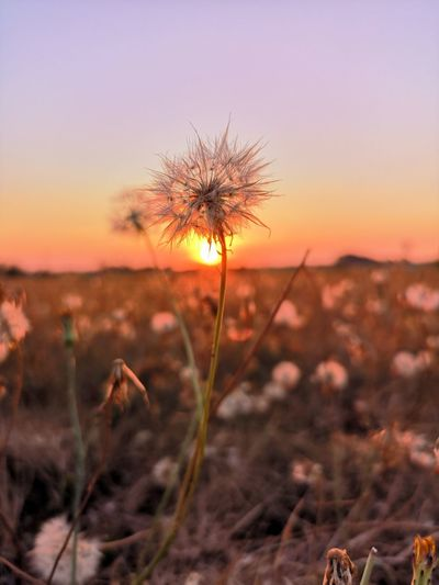 Close-up of plant on field against sky during sunset