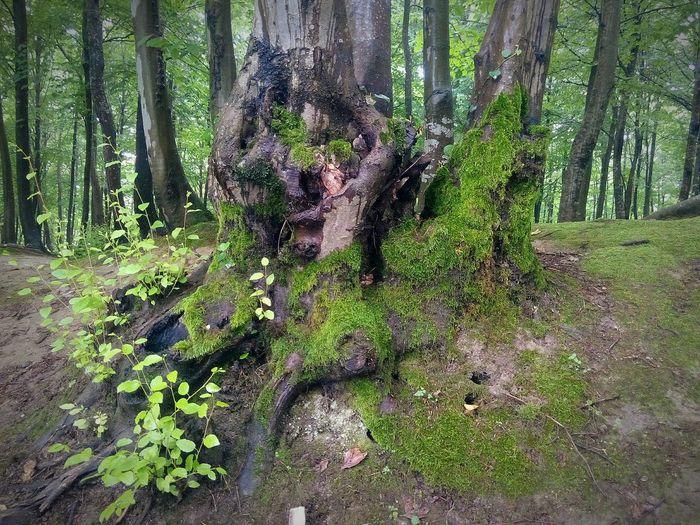 Hendek Selman Dede Parkı Yosun Ağaçyosunu Ağaçkökleri Tree Moss Tree Roots  Nature Doğa Ağaç Traveling Turkiyekareleri Discoveryourcountry Plantography
