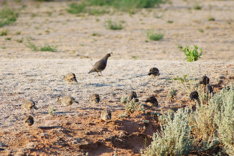 quail family searching for breakfast Quail Gambel's Quail Bird Flock Flock Of Birds Utah Southern Utah  Bird Animals In The Wild Animal Themes Animal Wildlife Nature Young Animal Outdoors No People Grass