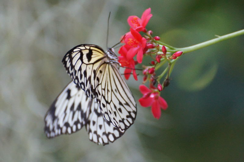 Animal Markings Beauty In Nature Blooming Butterfly Butterfly - Insect Close-up Day Flower Flower Head Focus On Foreground Fragility Growth Multi Colored Natural Pattern Nature No People Outdoors Petal Pink Color Plant Red Selective Focus