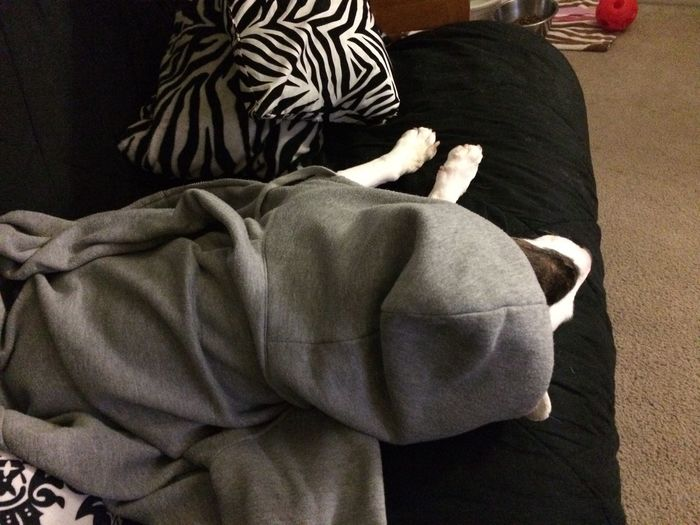 Always Be Cozy Indoors  Animal Themes Warm Spontaneous Moments Cozy Gray Hoodie Dogs Sleeping Dog Dog In Hoodie Cozy Dog Leisure Activity