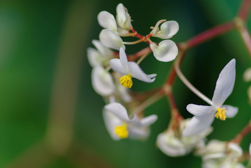Flower Flowering Plant Vulnerability  Fragility Plant Beauty In Nature Petal Freshness Growth Inflorescence Flower Head Close-up Selective Focus White Color No People Nature Pollen Focus On Foreground Day Outdoors ベゴニア