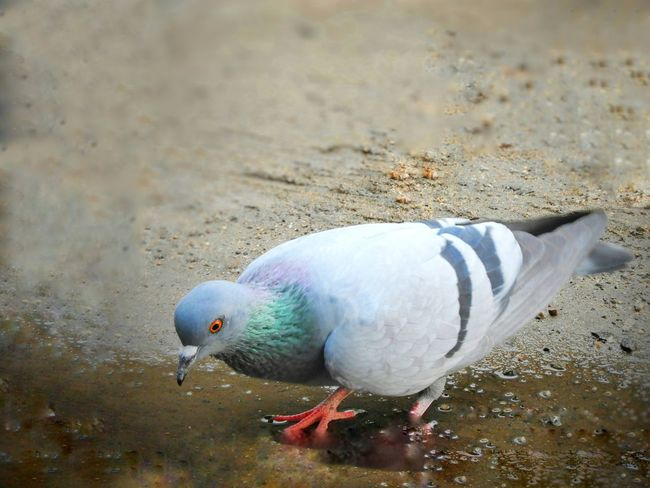 Pegion Pigeon Bird  Lone Bird Bird Nature Tranquility Beauty In Nature The Messenger Of The Peace Calm