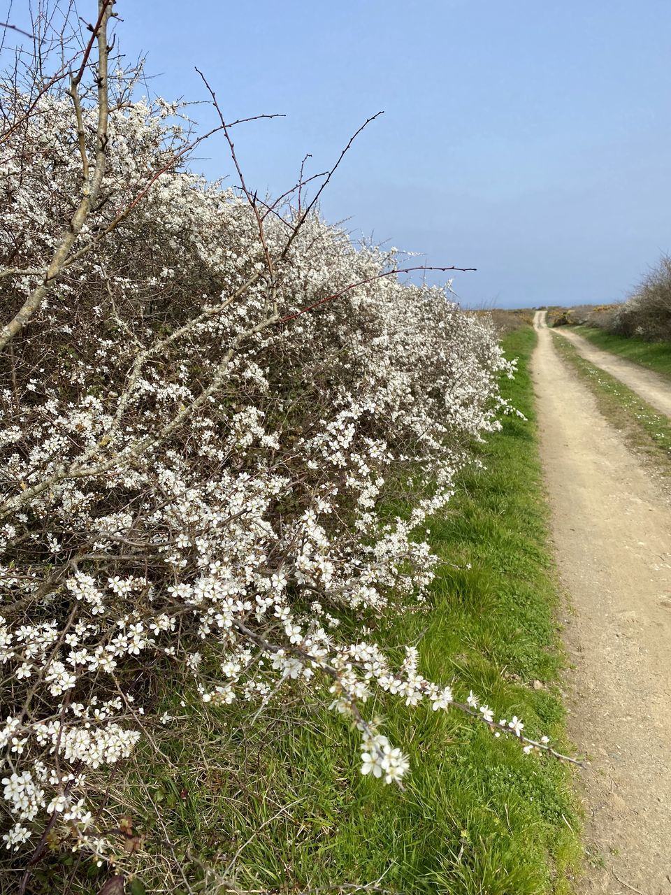 VIEW OF WHITE FLOWERING PLANTS BY ROAD