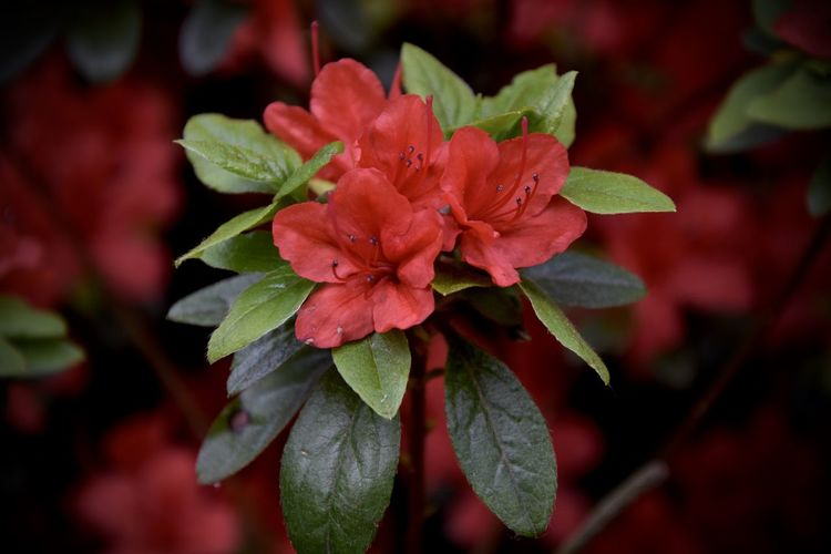 Beauty In Nature Blooming Blossom Close-up Flower Green Petal Red