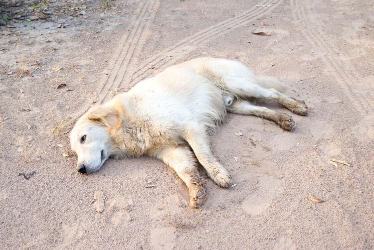 High angle view of dog sleeping on sand
