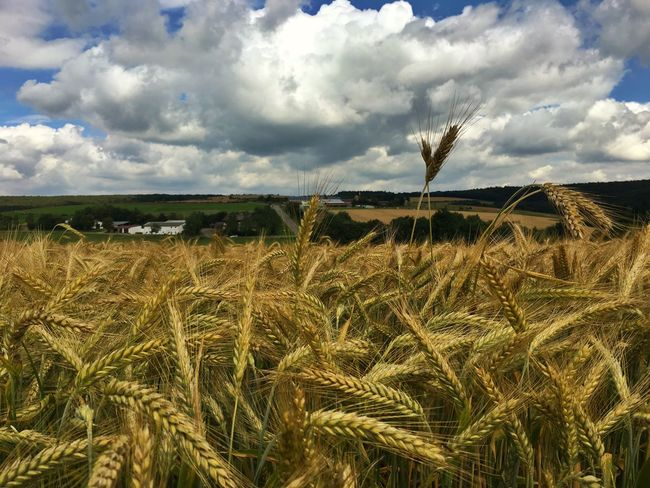 Feld Weizenfeld Weizenähre Weizen Wolken Wolkenhimmel Sonnig Wheat Wheat Field Clouds And Sky Cloudy