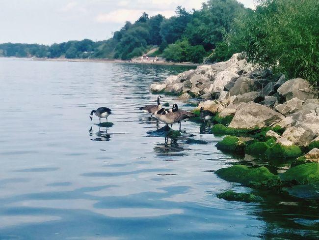 Goose Geese Gooses Water Beach Lake Lake Ontario Mossy Moss & Lichen Enjoying The Sun Bird Water Swimming Tree Lake Floating On Water Water Bird