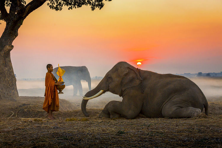 Side view of monk with religious offering standing by elephants on land during sunrise