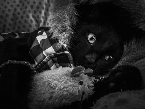 Awesome Black and White Photography of my pet black cat is dressed up jumper hood as model for winter. He loves textures mouse toy collection. Black And White Photography Black Cat Cat Eyes Cat Watching Cat Photography Cat Lovers Cats 🐱 Cat♡ Cat Paws Eye Shoot Images Beautiful Eye 😍👀👌🏾 Marco Beauty Marco Photography Marco Pet Photography  Pet Portrait Pet Friendly  Animals Animal Cat Dressed Up Mouse🐹 Toy Collection Cat Model @ Bundaberg.