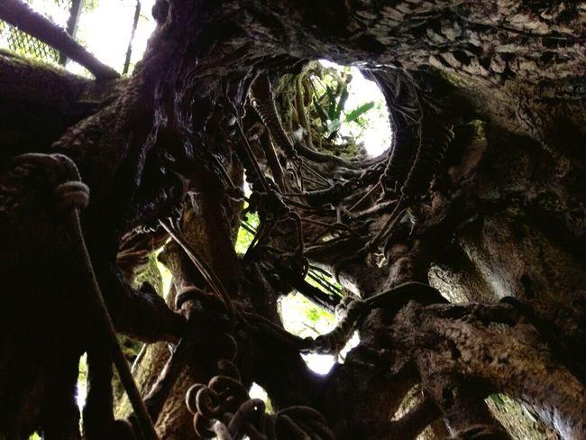 Árbol hueco en Monteverde CR
