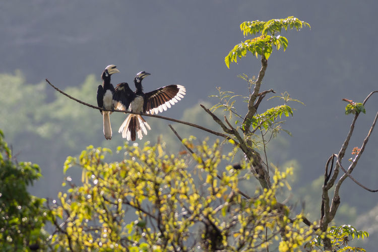Oriental pied hornbills (Anthracoceros albirostris) in Taman Negara National Park Anthracoceros Albirostris Hornbill National Park Oriental Pied Hornbill Taman Negara Animal Wildlife Animals In The Wild Bird Malaysia Nature Outdoors Pair Perching Spread Wings Tree Wildlife