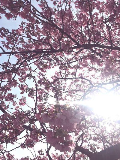 河津桜 Sakura