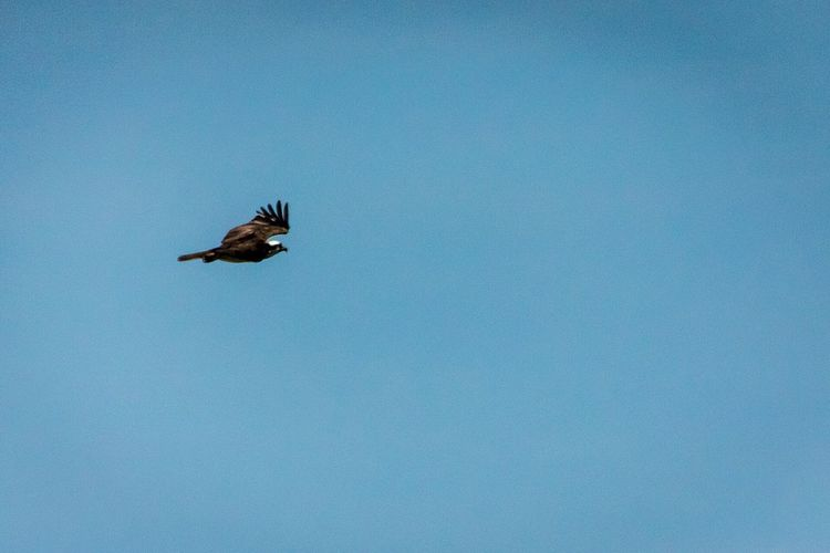 Osprey  The Week On Eyem Picoftheday EyeEm Best Shots Long Beach Island LBI Sky Bird Bird Photography Showcase July