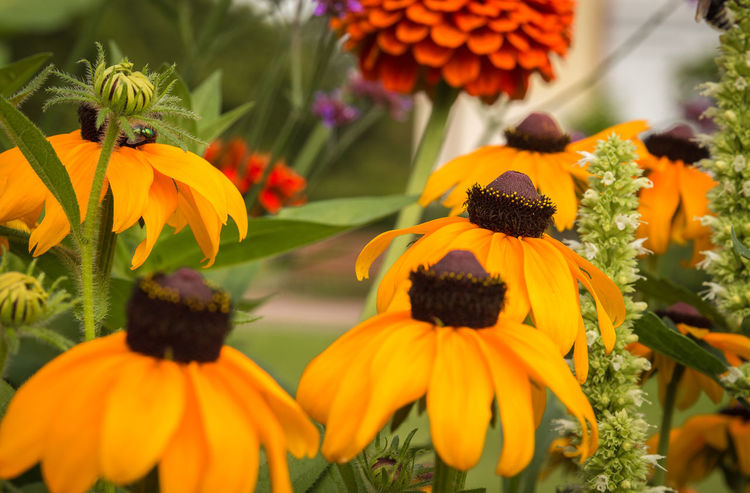 Echinacea Garden flower Beauty In Nature Black-eyed Susan Blooming Close-up Coneflower Day Eastern Purple Coneflower Echinacea Purpurea Flower Flower Head Focus On Foreground Fragility Freshness Garden Photography Growth Nature No People Orange Color Outdoors Petal Plant Pollen Summer Yellow