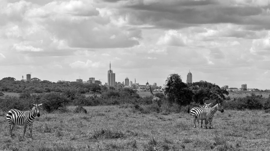 City Cityscape Nairobi Skyline Animal Themes Animal Wildlife Animals In The Wild Cloud - Sky Day Field Grazing Mammal Nature No People Outdoors Safari Animals Sky Striped Zebra