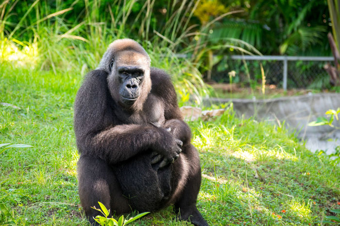 Amazing Animal Animal Love Ape Beautiful Beauty In Nature Captivity Day Gorilla Grass Monkey Nature Nature Photography Nature_collection Relaxing Silverback Gorilla Wild Wildlife Wildlife & Nature Wildlife Photography