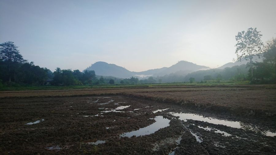 Rice Fields At