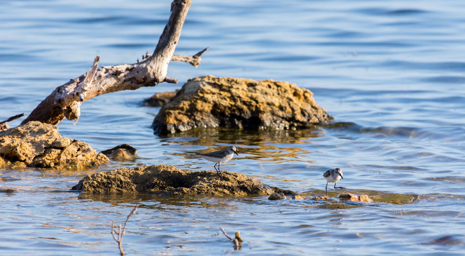 Stilt sandpipers perching on rock formation in lake