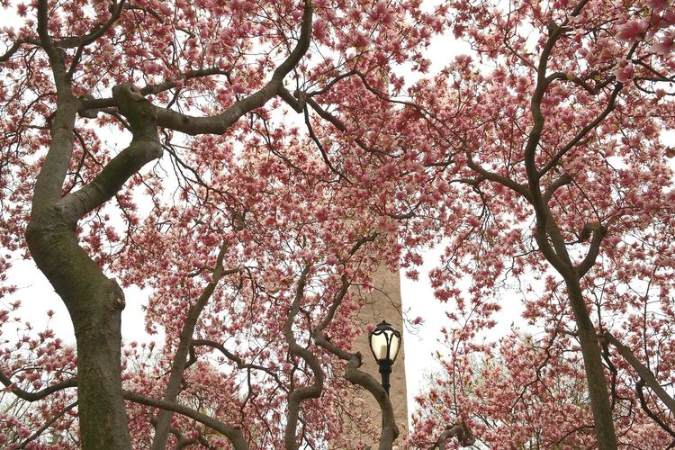 pink bloom,cleopatra's needle At Central Park