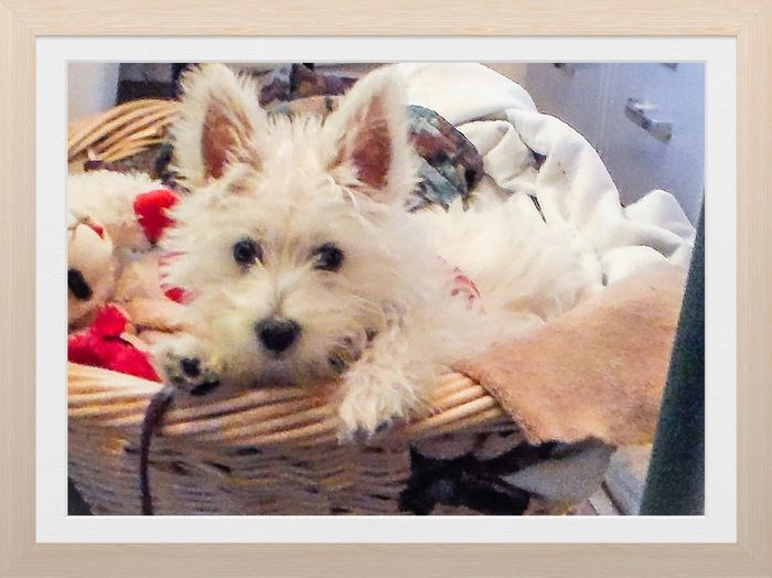#WestieinBasket #westhighlandterrier #westie Animal Animal Themes Canine Close-up Cute Dog Domestic Domestic Animals Indoors  Lap Dog Looking At Camera Mammal No People One Animal Pets Portrait Relaxation Small Vertebrate Young Animal