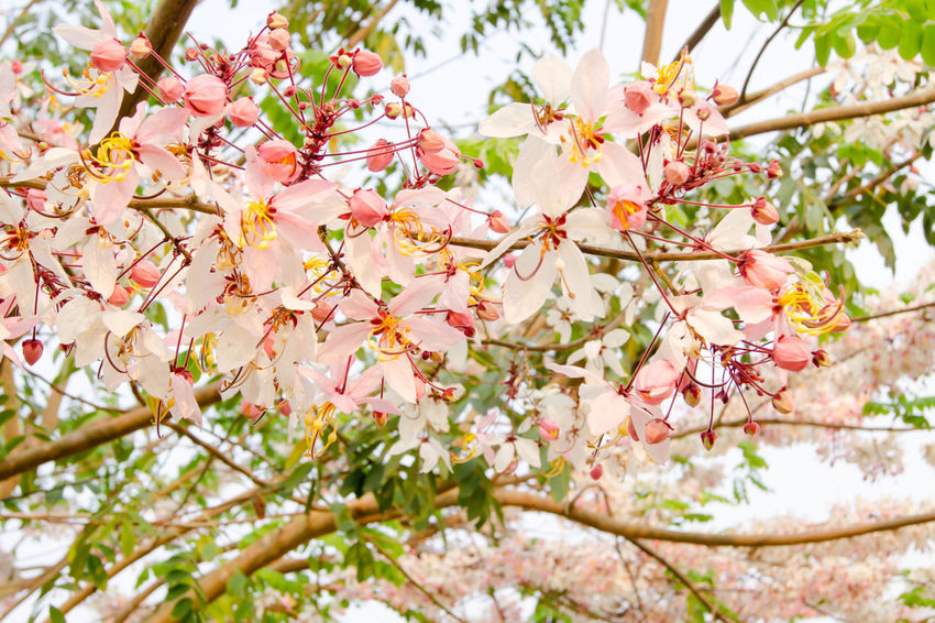 Beautiful Flowering Pink Plant Summertime Thailand Tree Background Bloom Blossom Branch Cassia Flora Floral Flower Foliage Fresh Grow Park Pink Color Pretty Season  Spring Summer White