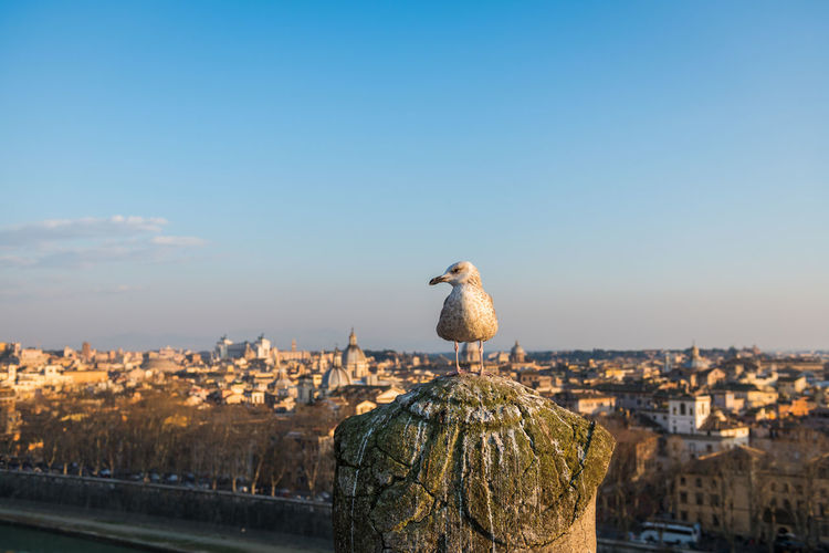 Seagull perching on a city against sky