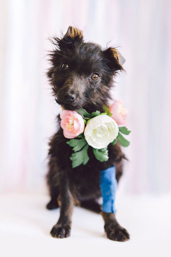 Domestic Domestic Animals Pets Mammal Dog Canine One Animal Looking At Camera Portrait Vertebrate Indoors  Black Color People Focus On Foreground Facial Expression Full Length Sitting Animal Tongue