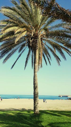 Spain Malaga Coconut Palm Tree Single Tree Coastline Bay Of Water